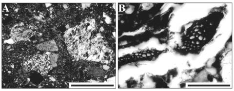 Figure 5: Microphotograph of the daub sample. A: NX, metamorphic inclusions are evident; scale bar: 500µm. B: NP, charred wood particles; scale bar: 120 µm.Figure 5 : Microphotographie d'un échantillon d'enduit.