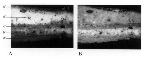 Figure 6: Photos with optical microscope for AMF13 (∆3), plaster with colour from the window, women gallery, right aisle, 3rd apse with five layers. The (a) left, is taken with white light and the (b) right, by UV light.Figure6: Photos au microscope optique sur AMF13, plâtre avec couleur provenant de la fenêtre, galerie des femmes, aile droite, 3e abside avec 5 couches. La photo (a) à gauche est prise en lumière blanche et celle (b) de droite en lumière UV.