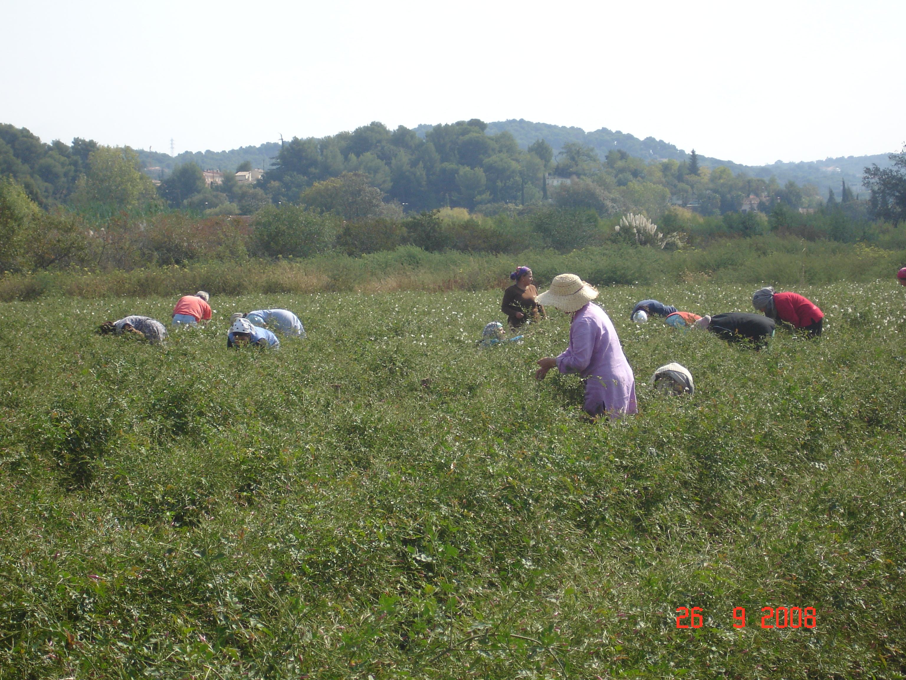 La Valorisation Tardive Des Plantes A Parfum Et Du Savoir Faire