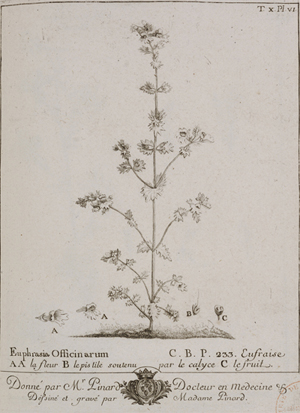 Fig. 3 : « Euphrasia Officinarum » (euphraise des boutiques), in P.-J. Buc'hoz, Plantes de Nancy19.