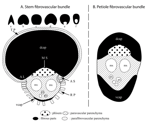 Figure 1. Palm fibrovascular bundles (fvb)