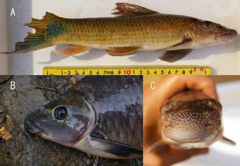 Ethnoecology and ethnomedicinal use of fish among the Bakwele of