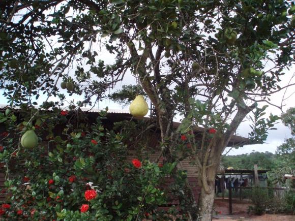 5 pcs Apricot Seeds Tree Rare Fruit Seeds Plant Home Sweet Albaricoque Damasco