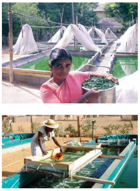 Figure 2. Spirulina harvest in India (top) and Niger