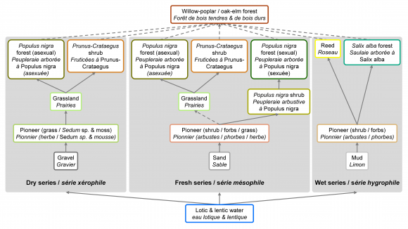 Vegetation succession processes and fluvial dynamics of a mobile