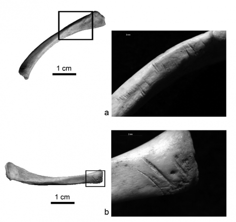 Figure 3 - Deux exemples de clavicules droites de marmotte (Marmota marmota) issues de l'ensemble faunique du niveau 1a.Figure 3 - Two examples of right marmot (Marmota marmota) clavicles selected from the faunal assemblage of layer 1a.