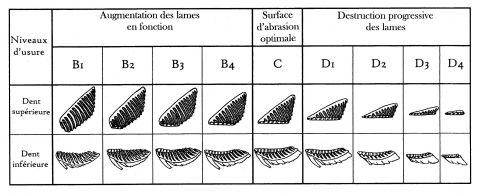 Figure 8 - Attrition levels of Elephantid cheek teeth, according to M. Beden, 1979 (lower teeth) and S. Louguet-Lefebvre, 2005 (upper teeth).