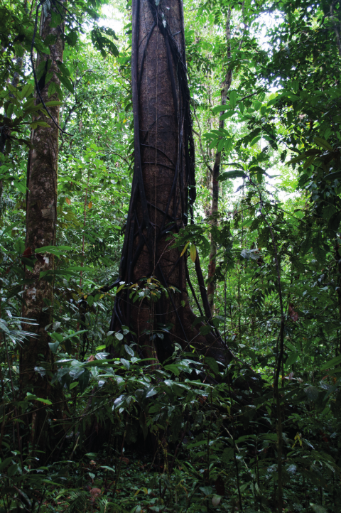 Figure 3 - Agibo tree at location of Waredaru village, 2009 (photograph : Bruno David).