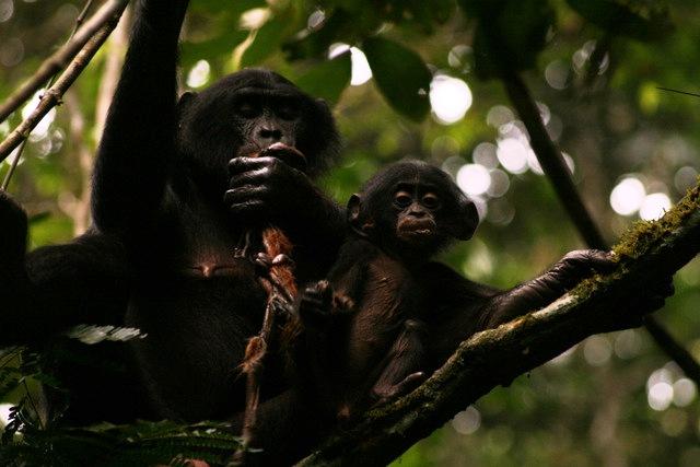 Bonobo apes homosexuality statistics