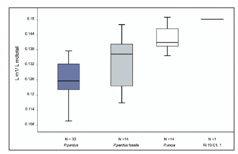 Fig. 4: Box-plot representing the ratio between the length of m1 and the total length of the mandible of Felidae (Ri10/C1/2010 and Christiansen, 2008).