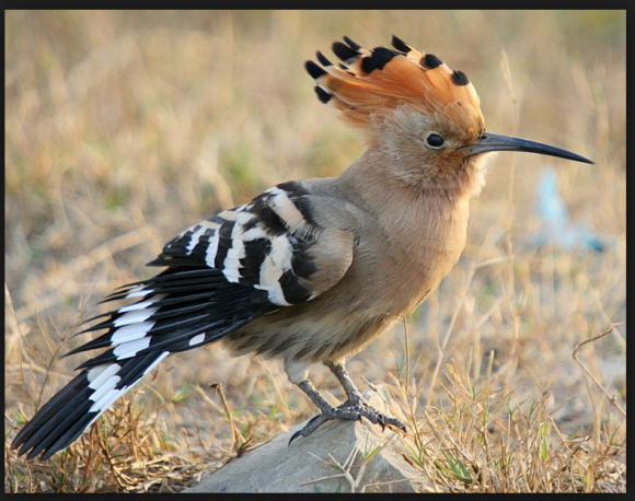 The fateful landing of the hoopoe